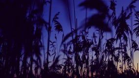 Silhouetten van rietslingeringen in de wind stock videobeelden