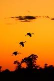 Silhouetten van Sandhill-Kranen bij Zonsondergang Royalty-vrije Stock Afbeeldingen