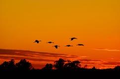 Silhouetten van Sandhill-Kranen die bij Zonsondergang vliegen Royalty-vrije Stock Foto's