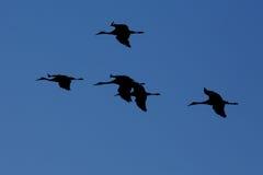 Silhouetten van Sandhill-kranen het vliegen Royalty-vrije Stock Afbeeldingen