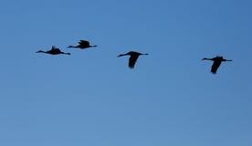 Silhouetten van Sandhill-kranen het vliegen Royalty-vrije Stock Foto