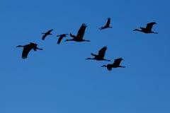 Silhouetten van Sandhill-kranen het vliegen Royalty-vrije Stock Fotografie