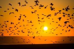 Silhouetten van troepen van vogels en een spectaculaire overzeese zonsondergang Stock Foto