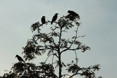 Silhouetten van vogels in de lijsterbes stock afbeelding