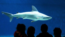 Silhouettes against of shark. In a big aquarium Royalty Free Stock Image