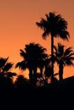 Silhouettes av palmträd på solnedgången Arkivbilder
