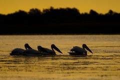 Silhouettes av pelikan på soluppgången Royaltyfria Bilder