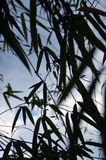Silhouettes of Bamboo leafs on sky background. Royalty Free Stock Photo