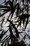 Silhouettes of Bamboo leafs on sky background. Close up. Silhouettes of Bamboo leafs on sky evening background. Close up Royalty Free Stock Image