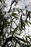 Silhouettes of Bamboo leafs on sky background Royalty Free Stock Photo