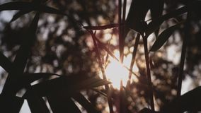 Silhouettes Of Bamboo Plants At Sunset. Silhouettes Of Young Bamboo Plants Dancing In The Wind At Sunset With Backlight stock video footage