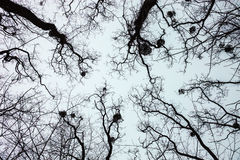 Silhouettes of bare trees with mistletoes Royalty Free Stock Photos