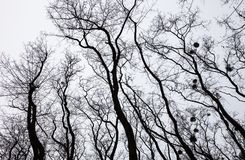Silhouettes of bare trees with mistletoes Royalty Free Stock Images