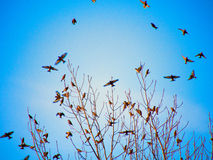 Silhouettes of birds flying on blue sky background Royalty Free Stock Photography