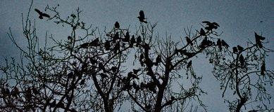 Silhouettes of birds. A picture of silhouettes of birds,on tree branches,in a park in a greek town thessaloniki Royalty Free Stock Photo
