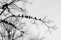 Silhouettes of birds pigeons sitting in a row on the branches of a tree. Set of birds sitting on lacy branches in a row, black doves isolated on white Stock Images