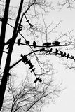Silhouettes of birds pigeons sitting in a row on the branches of a tree. Set of birds sitting on lacy branches in a row, black doves isolated on white Royalty Free Stock Photos