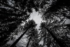 Silhouettes of black crowns of tall trees leaning against the sky. In the middle of a deep forest Stock Photography