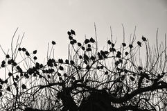 Silhouettes of bohemian waxwings Royalty Free Stock Photography