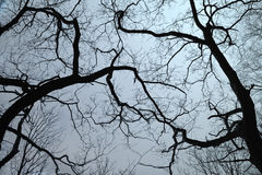 Silhouettes of branches Stock Photography