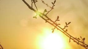 Silhouettes of branches of a tree in the dawn sun Sunrise nature. Trees silhouettes against Sunrise background. tree. Silhouettes of branches of tree in the dawn stock footage
