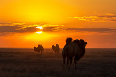 Silhouettes of camels against the background of a sunset in the desert Stock Photo
