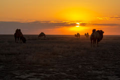 Silhouettes of camels against the background of a sunset in the desert Stock Photography