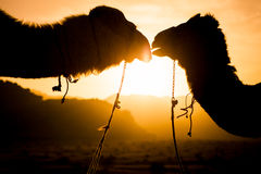 Silhouettes of camels. In desert Stock Photo