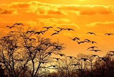 Flock Of Birds Flying Straight Ahead In The Sunset Sky Royalty Free Stock Images