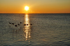 Silhouettes of Canadian Geese Flying at Sunrise Royalty Free Stock Photo