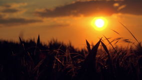 Silhouettes of Cars in Sunset Driving by Wheat Field stock video footage