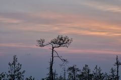 Silhouettes of trees growing on a swamp against the backdrop of the setting sun. Bizarre curved trees pines on a swamp stock photography