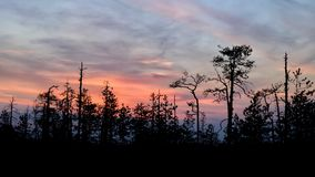 Silhouettes of trees growing on a swamp against the backdrop of the setting sun. Bizarre curved trees pines on a swamp royalty free stock images