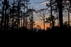 Silhouettes of trees growing on a swamp against the backdrop of the setting sun. Bizarre curved trees pines on a swamp stock image