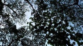 Silhouettes d'arbre avec le ciel bleu Image libre de droits