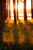 Silhouettes d'arbre et long foin dans la lumière d'or Images stock