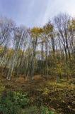 Silhouettes d'arbres dans une forêt vierge Image libre de droits