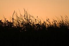 Silhouettes d'herbe de lever de soleil Image stock