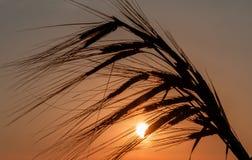 Silhouettes d'herbe rassemblées en paquet Photo libre de droits