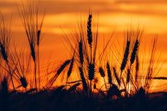 Silhouettes de coucher du soleil de champ de blé Photographie stock