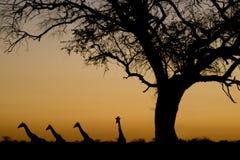Silhouettes de giraffe au coucher du soleil. Parité de national d'Etosha Images stock