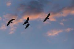 Silhouettes de hérons en vol au crépuscule avec les nuages rosâtres Photographie stock libre de droits