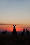 Silhouettes de kangourou au coucher du soleil Photos stock