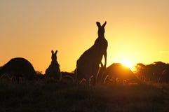 Silhouettes de kangourou au coucher du soleil Images libres de droits