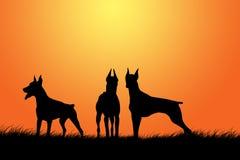 Silhouettes de Pinscher de dobermann Photographie stock libre de droits