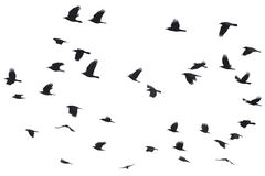 Silhouettes de voler de corneilles Image stock