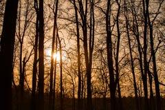 Silhouettes des arbres grands au coucher du soleil dans la forêt Image stock