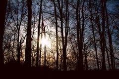 Silhouettes des arbres grands au coucher du soleil dans la forêt Image libre de droits