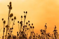 Silhouettes des fleurs de cardère Image libre de droits