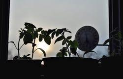 Silhouettes des jeunes plantes de tomate et du thermomètre de fenêtre sur le fond avec le coucher de soleil Image stock